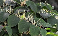 Japanese Knotweed Surveys - Identification & Removal: